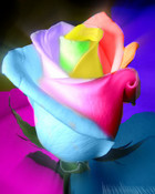 rainbow rose  wallpaper 1