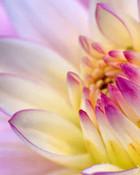 dalia-flower-wallpaper.jpg