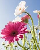 Blue Sky & pink flowers.jpg