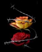 Barbed Roses.jpg