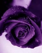 purple-roses.jpg
