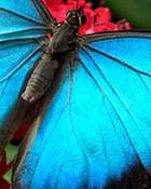 blue_butterfly-7714.jpg