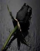 Black Rose.jpg wallpaper 1