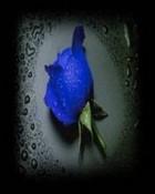 Moist Rose.jpg wallpaper 1