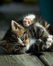 Free kitty-playing.jpg phone wallpaper by vixxen23