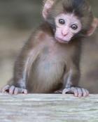 monkey monkey monkey i see you  wallpaper 1