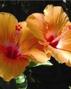 hibiscus-plant-7.jpg