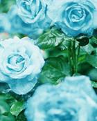 blue roses.