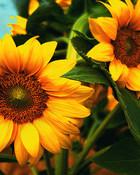 sunflower_wallpaper_1440x900.jpg
