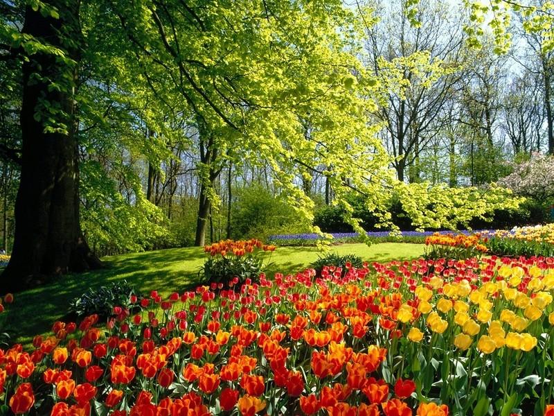 Free dutch-tulips.jpg phone wallpaper by moccacake28