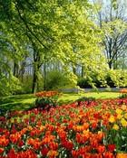 dutch-tulips.jpg wallpaper 1