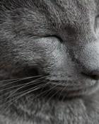 russian-blue-cat-3.jpg