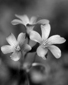 Black_and_White_Flowers_by_Rob523.jpg
