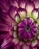 Purple-Flower-Close.jpg
