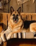 Country-Canine,-German-Shepherd.jpg