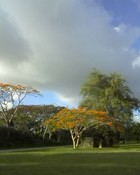 Cloudy skies and flame tree wallpaper 1