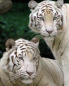 white_bengal_tigers_1366x768.jpg