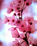 Cherry_Blossom_by_HappilyInsane.jpg