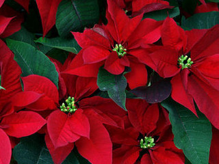 Free Christmas Poinsettias phone wallpaper by missjas