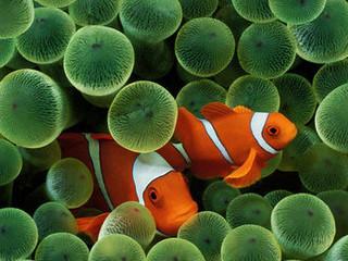 Free Clown Fish phone wallpaper by missjas
