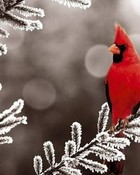 Christmas Cardinal wallpaper 1
