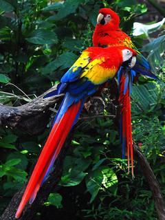 Free Amazon Parrots phone wallpaper by missjas