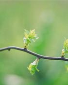 spring_buds.jpg