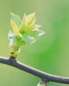 spring_budsmall.jpg