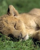 Sleeping Cub wallpaper 1