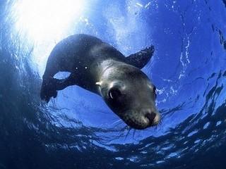 Free Underwater Seal phone wallpaper by missjas
