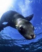 Underwater Seal wallpaper 1