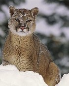A Lion In Winter