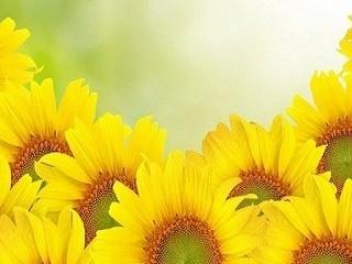 Free Sunflowers (wide) phone wallpaper by missjas