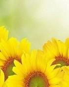 Sunflowers (wide) wallpaper 1