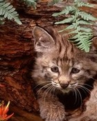 Bobcat Kitten wallpaper 1