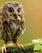Cute Little Owl 2