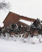 Clydesdale Christmas 2 wallpaper 1