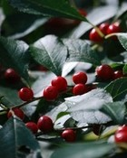 Christmas Holly Berries wallpaper 1