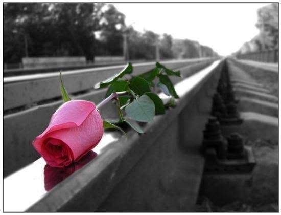 Free rose.jpg phone wallpaper by desijatti
