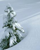 Little Winter Pine wallpaper 1
