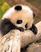 Shy Baby Panda