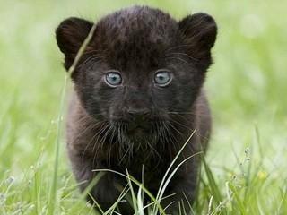 Free Panther Cub phone wallpaper by missjas