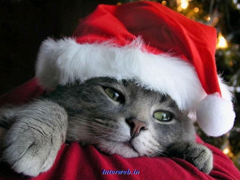 Free Christmas kitty.jpg phone wallpaper by twifranny