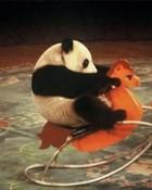 2010-11-02-14-41-36-7-a-mischievous-panda[1].jpg wallpaper 1