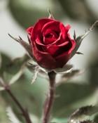 Lovely roja