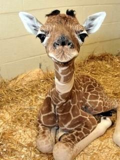 Free Baby Giraffe phone wallpaper by missjas