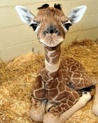 Baby Giraffe wallpaper 1
