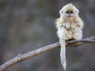 Free Cute Golden Snub Nose Monkey phone wallpaper by missjas