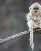Cute Golden Snub Nose Monkey wallpaper 1