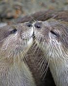 Otter's Kiss